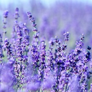 Lavender Hair and Beauty