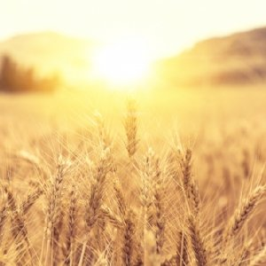 Wheat Hair and Beauty